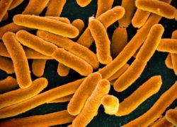 Бактерии E.coil