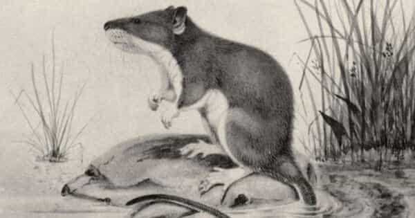 эфиопская водяная мышь