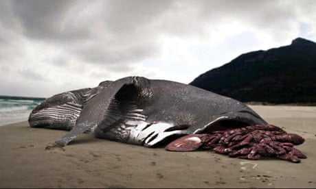 мертвая китовая акула