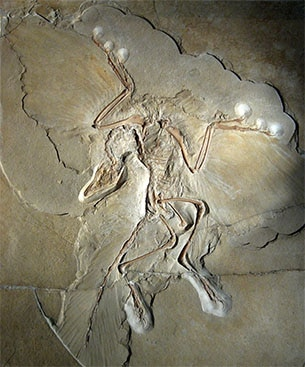 Археоптерикс. Экспонат Берлинского музея. Из открытых источников.