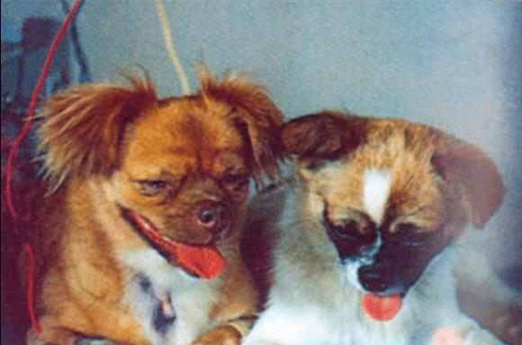 китайские собаки космонавты